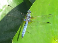 Photo: 32- Dragonfly