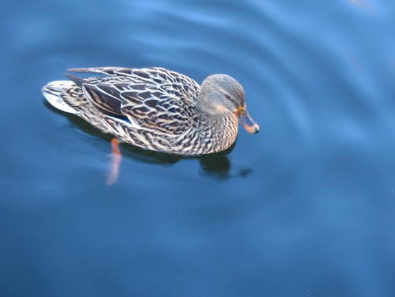 33- Duck
