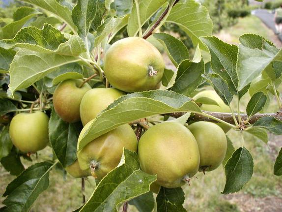 1-Apples