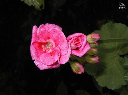 24- Pink flower blossoms