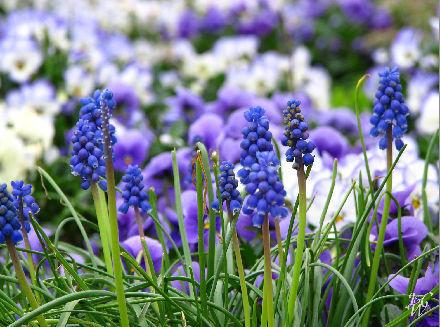 25- Field of Purple Flowers