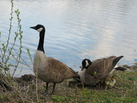 Photo: Geese with young