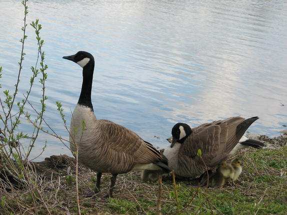 Geese with young