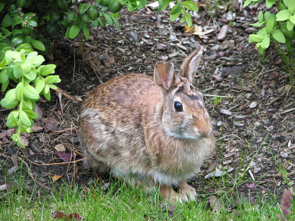 46- Bunny Rabbit