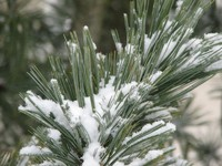 Photo: Pine Branch in winter