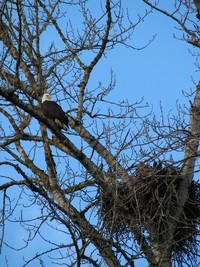 Photo: Eagle in Tree