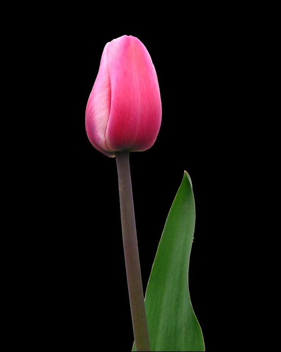 31- Tulip